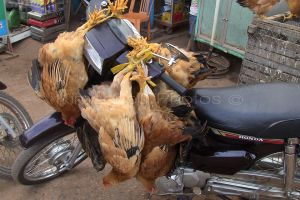 Live chickens strapped on to a scooter
