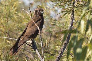 Brown-Falcon