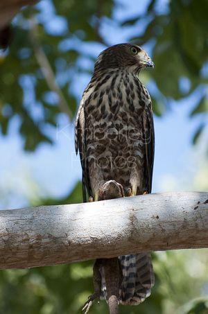 Collared Sparrow Hawk