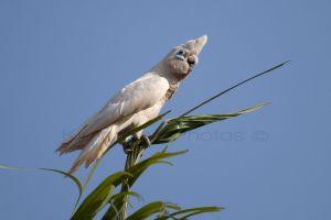 Corella Cockatoo