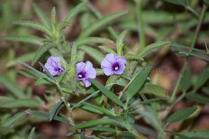 Aphyllodium Glossocarpum